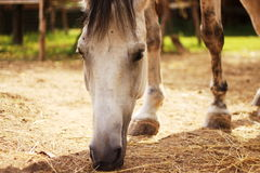 Horse is eating from ground. Horse is eating straw from ground Stock Images