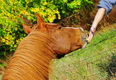 Horse eating from a hand. A beautiful chestnut stallion eats part of a pear from the out stretched hand over the wire fence stock photo