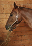 Horse eating hay. Side portrait of brown horse eating hay in stable Stock Images