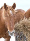 Horse Eating Hay Royalty Free Stock Image