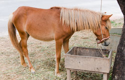 Horse eating hay Royalty Free Stock Photo