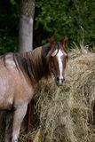 Horse eating hay from a feed bunk Royalty Free Stock Photo