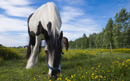 Horse eating hay. During Finnish summer a horse is enjoying of a fresh hay stock photo
