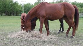 Horse eating hay stock video