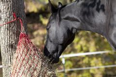 Horse eating hay from hay net