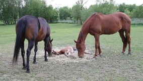 Horse eating hay stock video footage