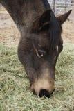 Horse eating hay Stock Photos