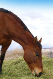 Horse eating hay Stock Photography