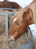 Horse Eating From A Hay Rack Royalty Free Stock Photography