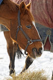 Horse Eating Hay in the Snow Stock Photos
