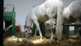 The horse eats hay. The horse is eating the hay in a stable stock footage
