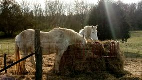 2 Horse Eating Hay In The Sun Stock Images