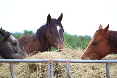Feeding Horses Royalty Free Stock Photos
