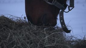 Horse eating hay in winter. Closeup of horse eating hay in winter in the paddock stock video