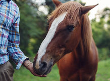 Horse eating from the man`s hand Stock Photos