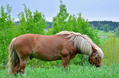 Horse eating Royalty Free Stock Image