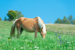Horse eating in the meadow Royalty Free Stock Photos