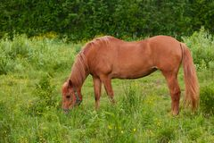 Horse eating at pasture meadow Royalty Free Stock Photos