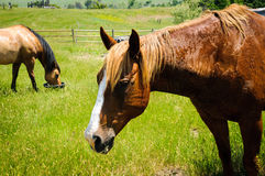 Horse Eating on Ranch Stock Photo