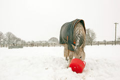 Horse eating from red bucket Stock Photo