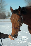 Horse eating snow. Hanavarian horse being fed a handful of snow Stock Images