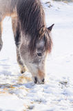 Horse eating snow in winter Royalty Free Stock Photo