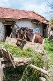 Horse eating straw Stock Image