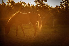 Trained horse. Horse eating during the sunset Royalty Free Stock Images