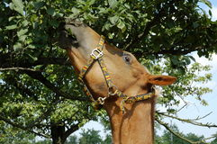 Horse eating tree leaves. Brown horse eating tree leaves Royalty Free Stock Image