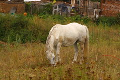 Horse eating in the village. Horse enjoying grass on a  hot day Stock Images
