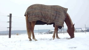 Horse eating by winter time. Horse wearing a coat and eating through the snow by winter time stock video footage