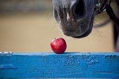 Horse eats an apple Royalty Free Stock Image