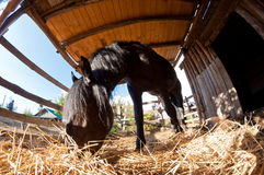 The horse eats the barn. A black horse, taken with a fisheye eats into his barn Stock Images
