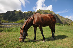 Horse eats in a field with mountains Stock Image