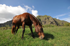 Horse eats in a field with mountains Royalty Free Stock Photo