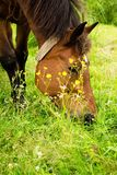 A horse eats grass on a meadow. Royalty Free Stock Image