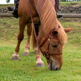 Horse eats grass. On the muzzle brid Royalty Free Stock Images