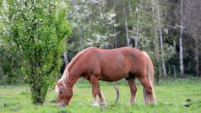 Horse eats grass on the pasture. stock video footage