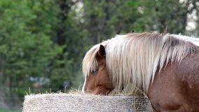 Horse eats grass on the pasture. stock footage