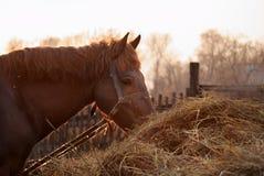 Horse eats hay Stock Image