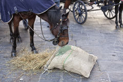 The horse eats the hay from the bag. Hungry horse eats oats from jute bag after the carriage ride Royalty Free Stock Photos