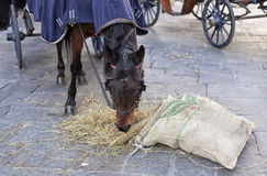 The horse eats the hay from the bag. Hungry horse eats oats from jute bag after the carriage ride Stock Photo