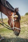 Horse eats hay Royalty Free Stock Photography