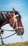 Horse eats hay Royalty Free Stock Image