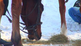 Horse eats hay. Horse eating hay in winter stall stock video