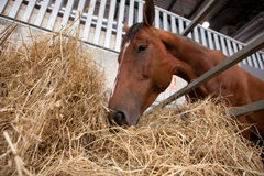 Horse eats hay from a hay rack Royalty Free Stock Photography