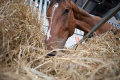 Horse eats hay from a hay rack Royalty Free Stock Images