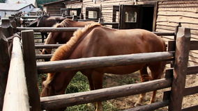 Horse eats hay in a stall stock video footage