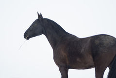 horse eats hay standing against a white sky Royalty Free Stock Photo