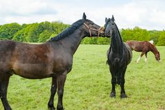 Horse emotion, brown and black horse on meadow Royalty Free Stock Photos